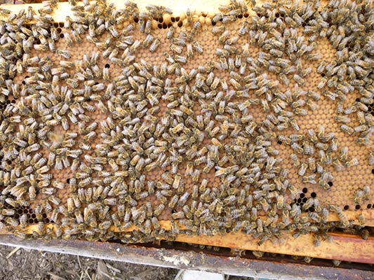 Bees and brood
