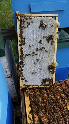 Freshly Capped honey from the hive