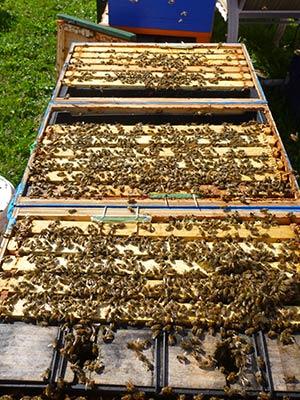 So many bees