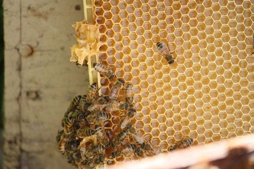 Fresh honey not even capped yet
