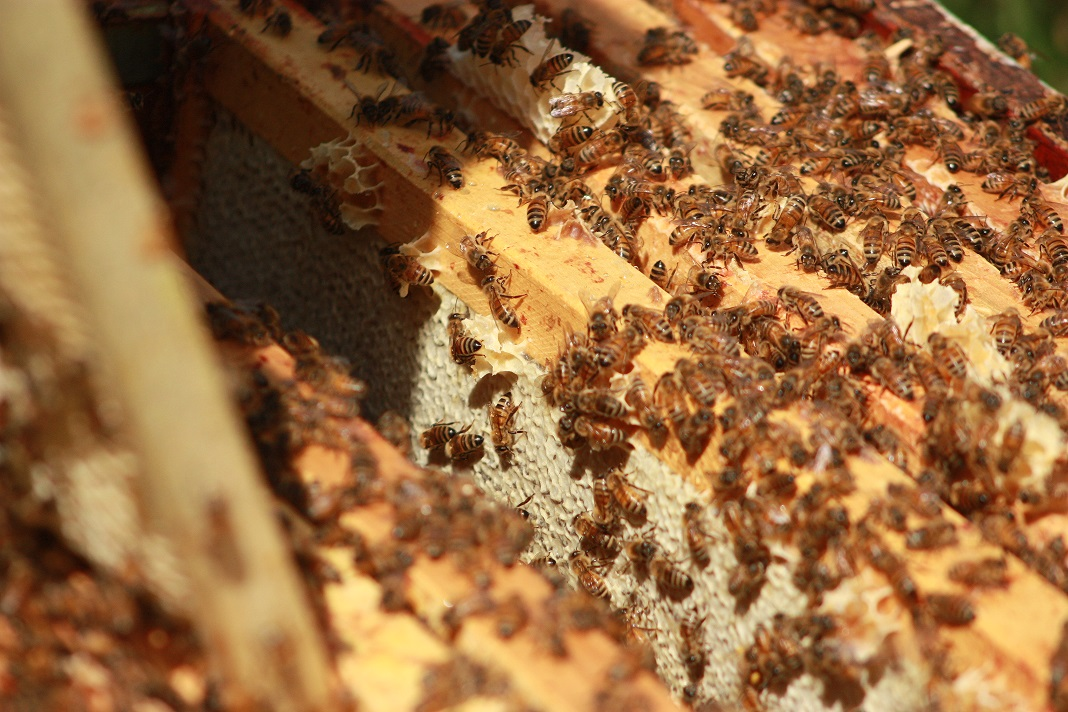 Capped honey with bees
